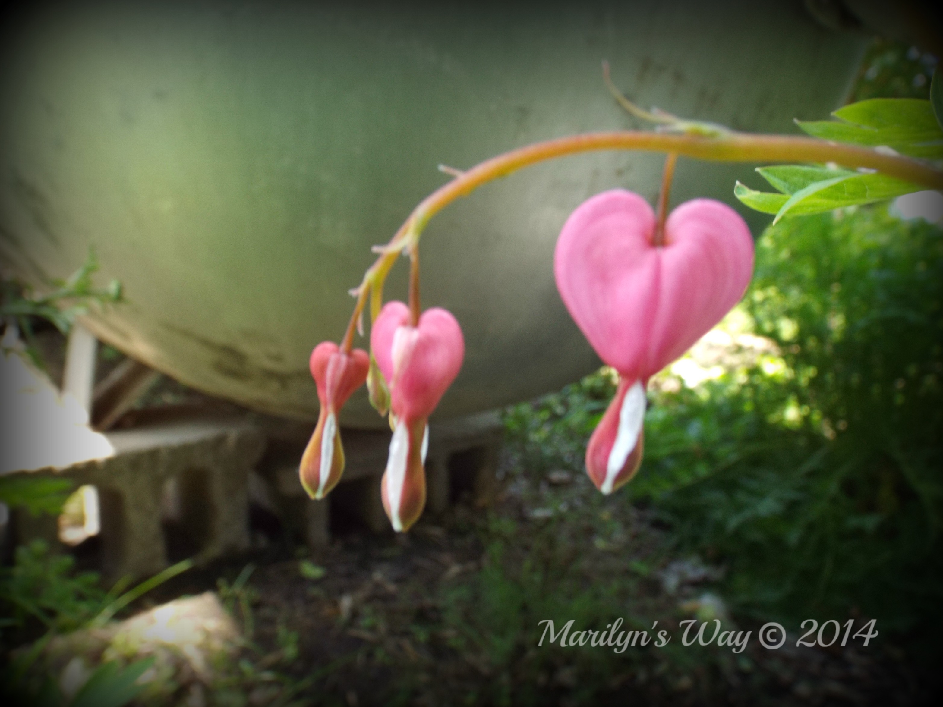 Bleeding Heart 002