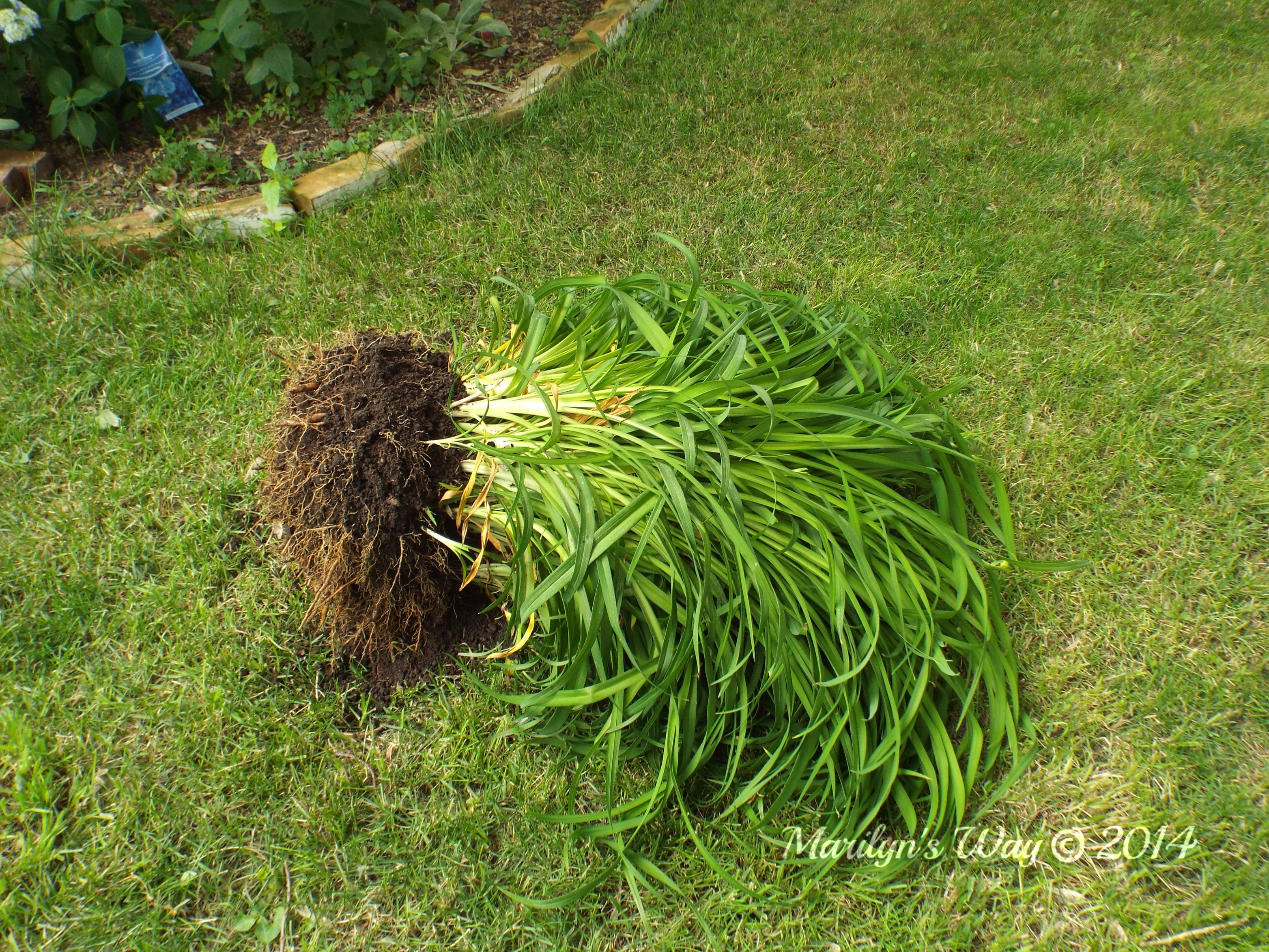superior planting daylilies Part - 1: superior planting daylilies ideas