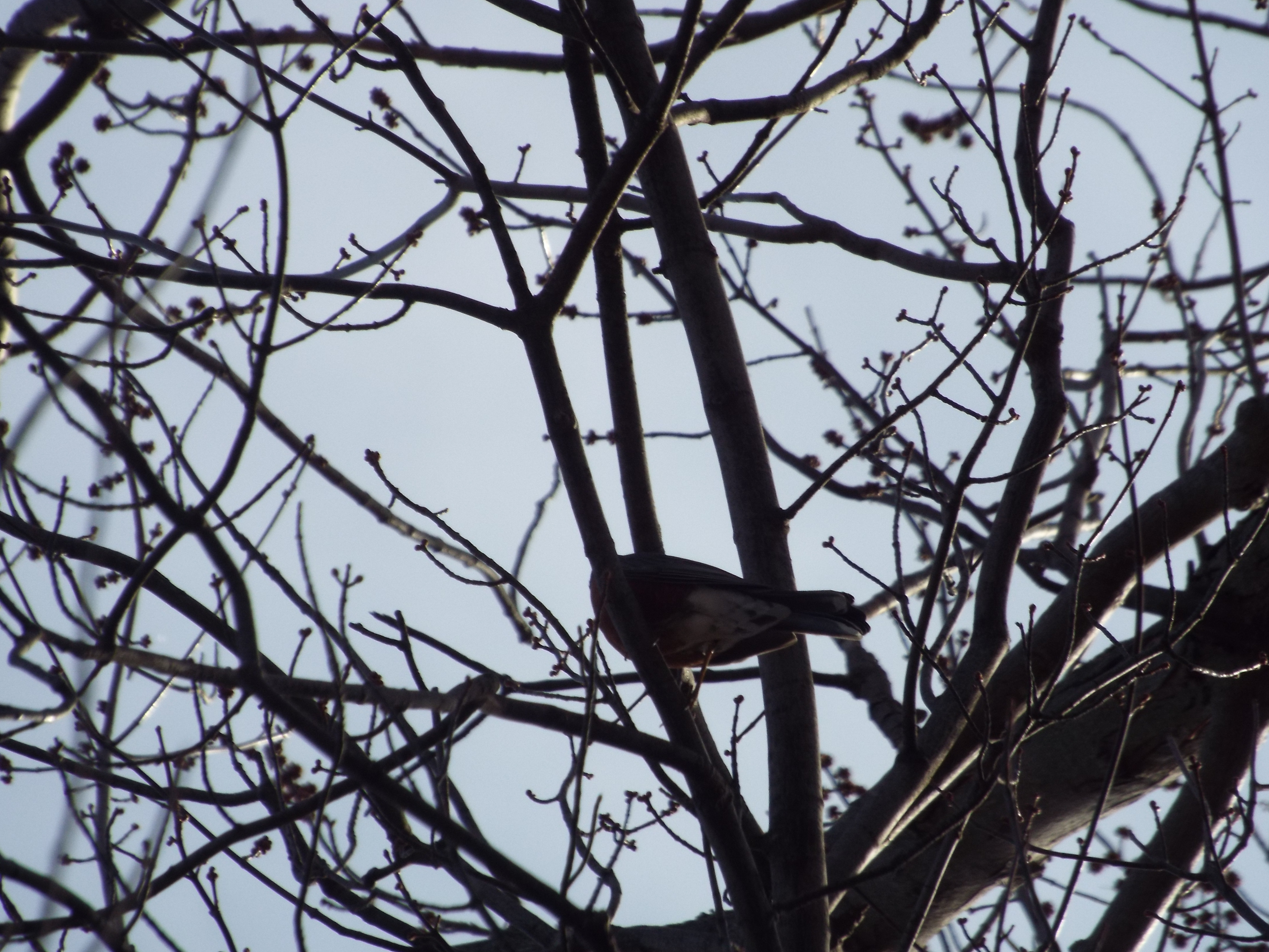 Robin high in my Maple Tree.