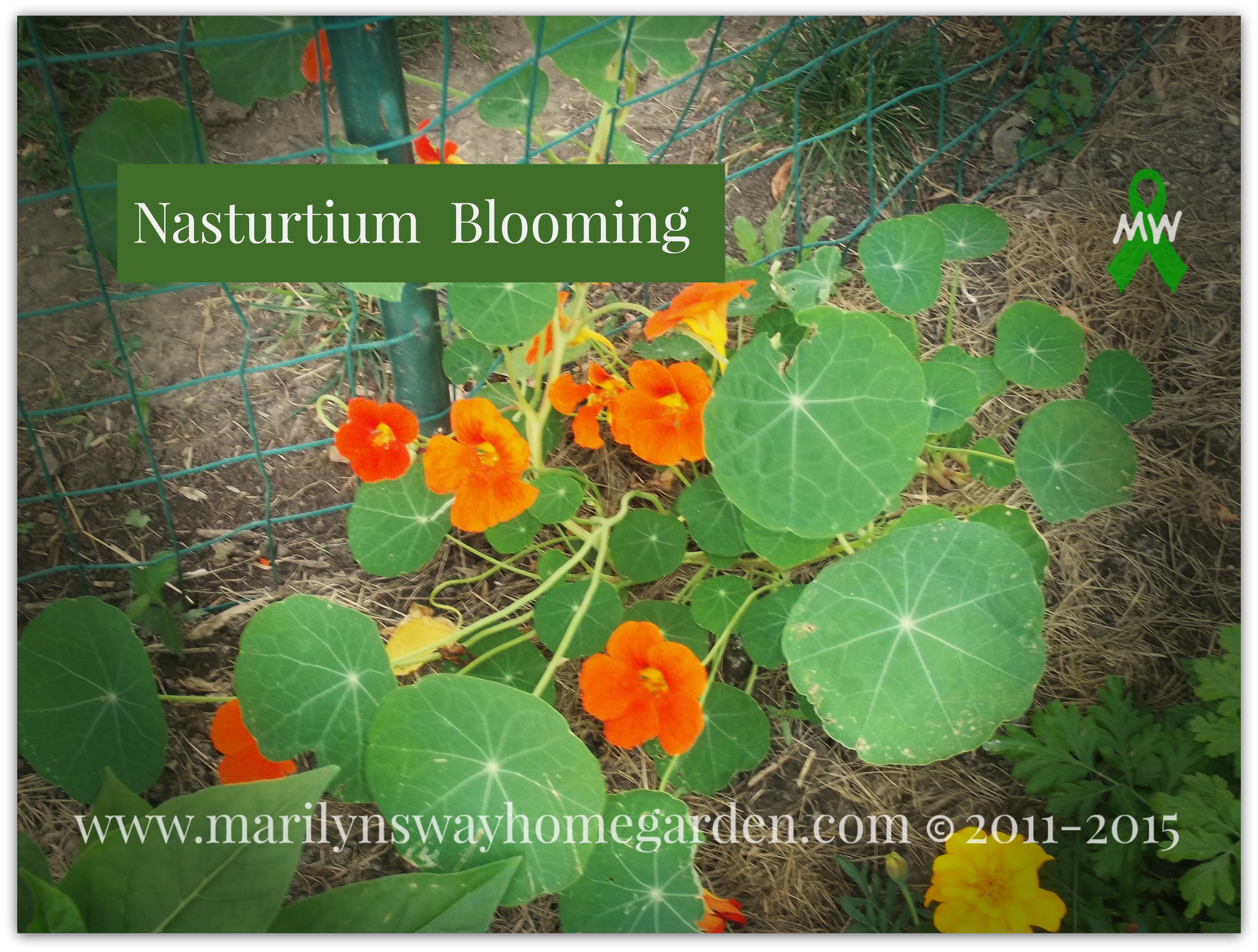 Nasturtium blooming.