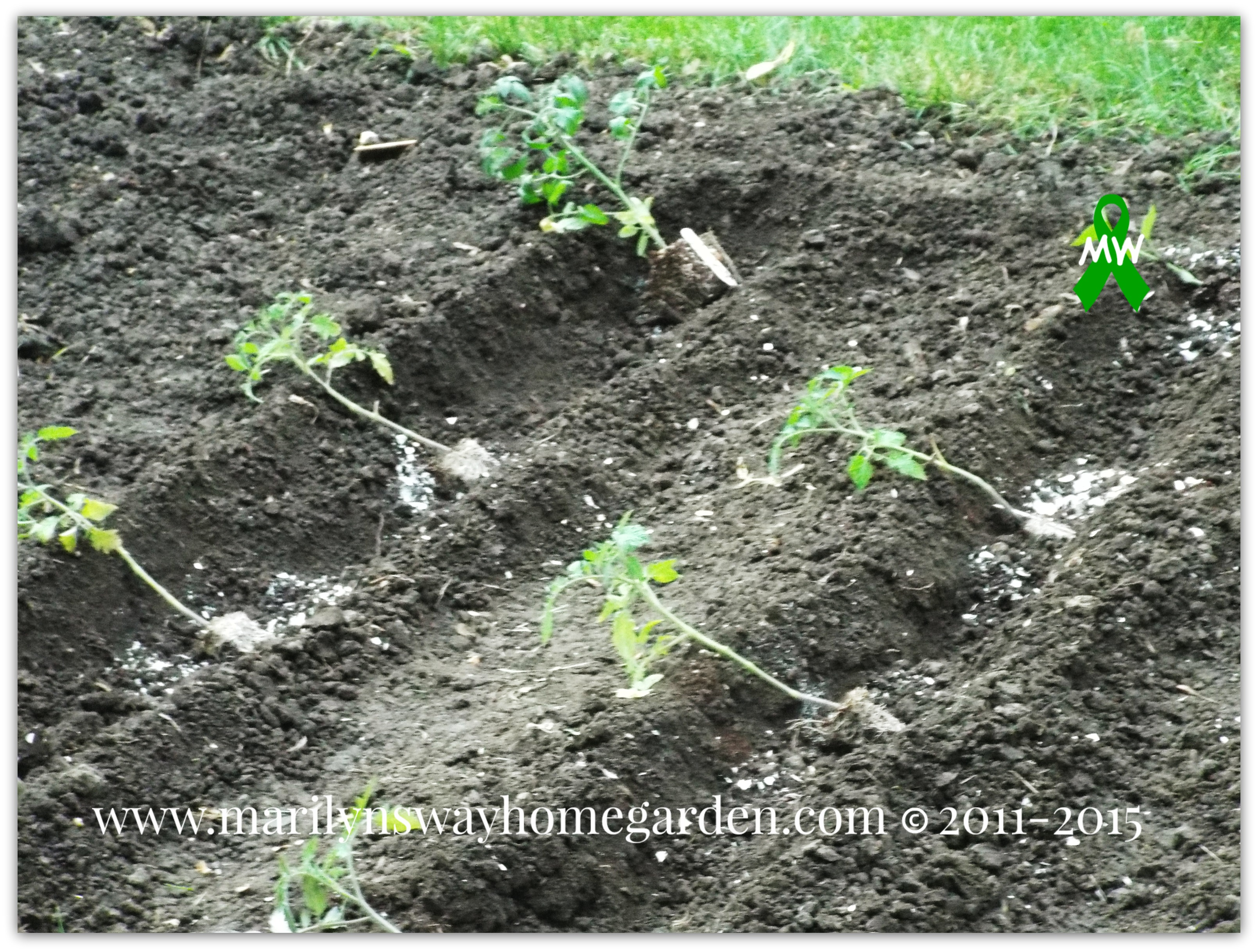 Once the trenches are done you want to plant your tomatoes and peppers as deep as you can in order for them to establish a good root system. Using the trench method is a way to accomplish this.